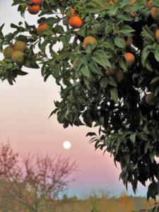 La luna y el naranjal./ Foto J.M.