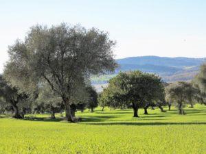 Olivos y trigo./ Foto J.M.