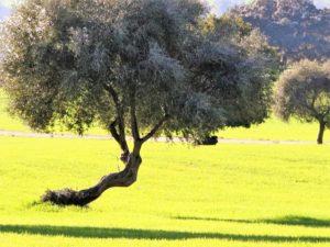 El olivo que no quiere caerse./ Foto J.M.