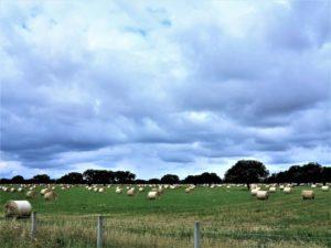 Campo de alpacas en las inmediaciones de dónde pretende abrirse la mina de uranio./ Foto Joaquín Mayordomo