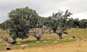 Los ganaderos no encontrarán quien les compre su ganado, criado en las inmediaciones de la mina de uranio./ Foto J.M.