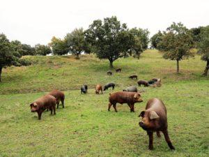 ¿Qué será del cerdo ibérico en medio de una mina de uranio?./ Foto J.M.