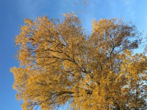 Esplendor amarillo en otoño./ Foto J.M.