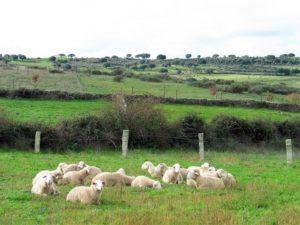 La mirada expectante de los corderos./ Foto JM