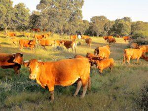 El ganado vacuno también será víctima del uranio./ Foto J.M.