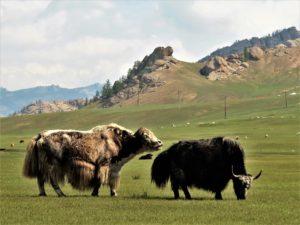 Dos yaks enamorados en la estepa mongoliana./ Foto J.M.