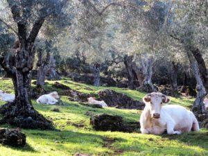 La felicidad de las vacas./ Foto J.M.