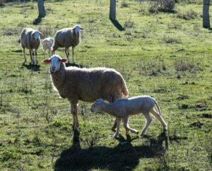 Hay ovejas qeu hablan; no que balan solo. También hablan./ Foto J.M.
