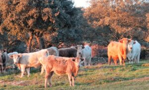 Vacas sorprendidas por un juego de magia./ Foto J.M.