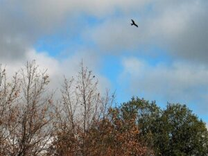 El milano planea sobre el viento al acecho de la presa./ Foto JM