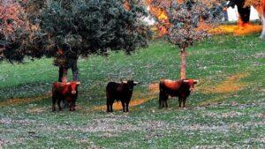 Los toros de lidia siempre e miran y, dicen, que si mueven la oreja irán a por ti./ Foto J.M.